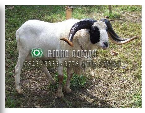 kambing-jantan-atau-betina-untuk-aqiqah0