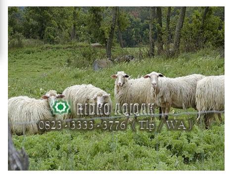 syarat-domba- untuk-aqiqah