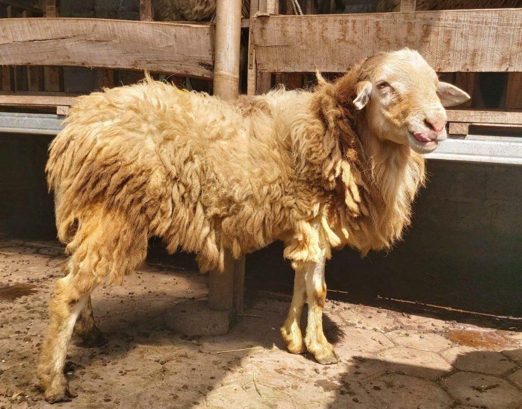 domba aqiqah murah sleman