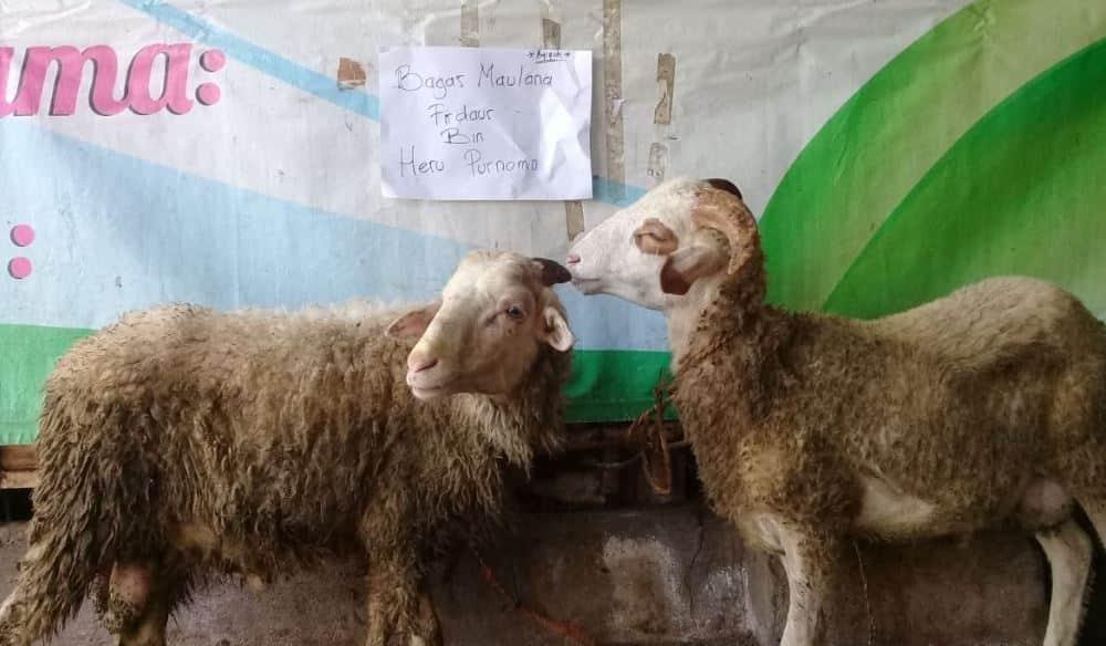 dokumentasi penyembelihan kambing aqiqah aqiqah itu harus dengan kambing jantan